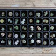 植物 ミニサボテ 苗40本セット 鉢植え 寄せ植え セット